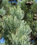 Weisse Zypresse Baum Frucht gruen Callitris glaucophylla 06