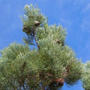 Weisse Zypresse Baum Frucht gruen Callitris glaucophylla 10