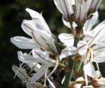 Weisser Affodil Bluete weiss Asphodelus albus 09