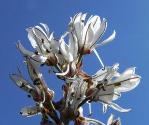 Weisser Affodil Bluete weiss Asphodelus albus 14