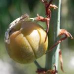 Bild: Weißer Affodil Blüte weiß Asphodelus albus