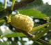 Zurück zum kompletten Bilderset Weißer Maulbeerbaum Frucht weiß Morus alba