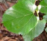 Weisser Maulbeerbaum Frucht weiss Morus alba 02
