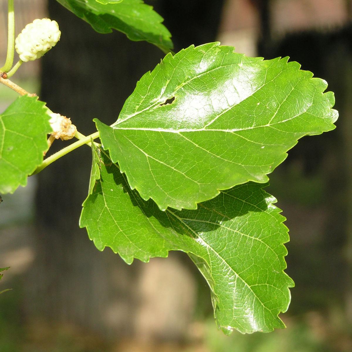 Weisser Maulbeerbaum Frucht weiss Morus alba