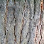 Weisser Maulbeerbaum Frucht weiss Morus alba 06