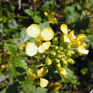 Weisser Senf Bluete gelb Sinapis alba 02