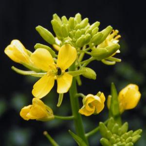Weisser Senf Bluete gelb Sinapis alba 05