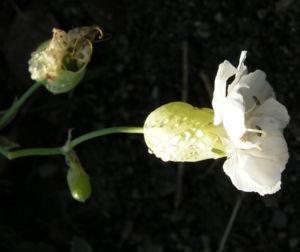Weisskehlchen Leimkraut Bluete weiss Silene uniflora 01