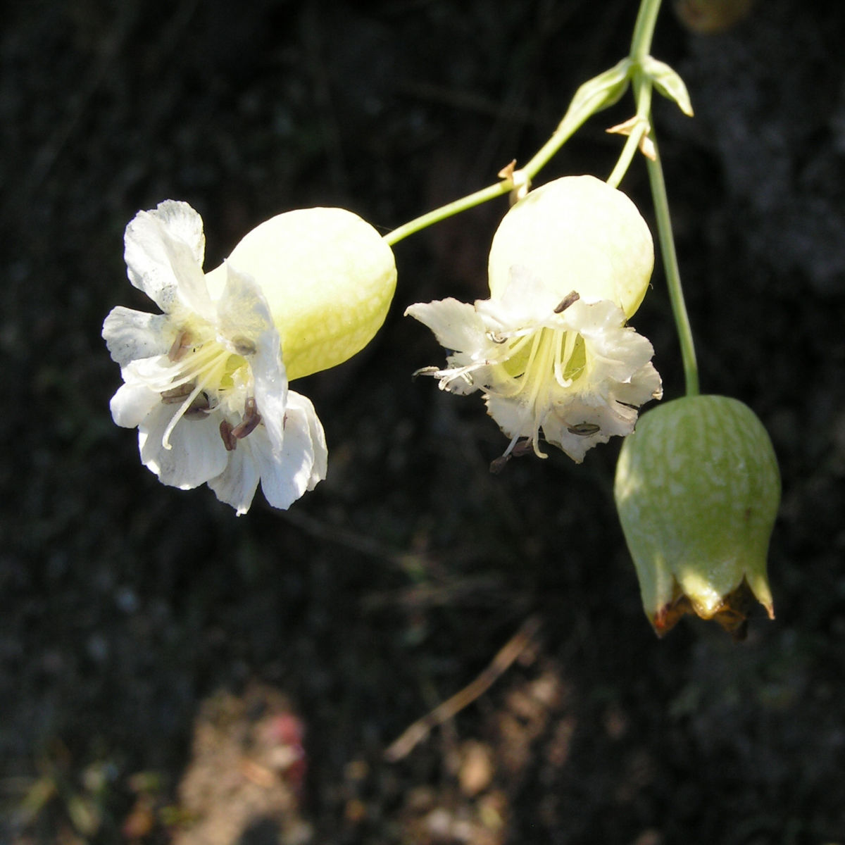 Weisskehlchen Leimkraut Bluete weiss Silene uniflora