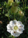 Weisskehlchen Leimkraut Bluete weiss Silene uniflora 04