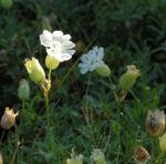 Weisskehlchen Leimkraut Bluete weiss Silene uniflora 05