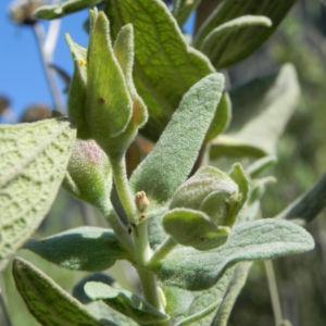 Weißliche Zistrose Blatt grün Cistus albidus 01