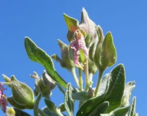 Weißliche Zistrose Blatt grün Cistus albidus 03