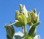 Weißliche Zistrose Blatt grün Cistus albidus 04