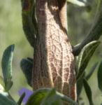 Weißliche Zistrose Blatt grün Cistus albidus 05