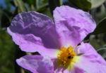 Weißliche Zistrose Blüte pink Cistus albidus