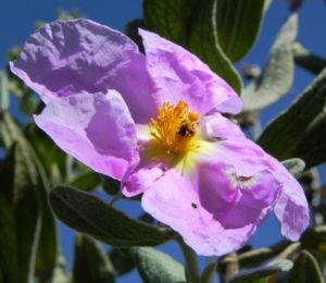 Weißliche Zistrose Blüte pink Blatt grün Cistus albidus