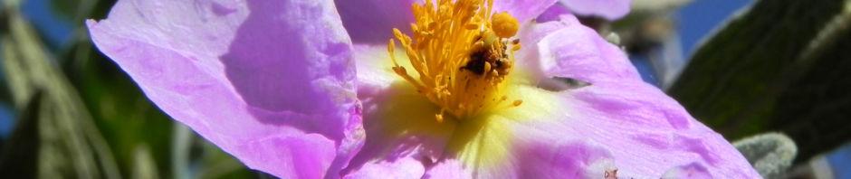 weissliche-zistrose-bluete-pink-blatt-gruen-cistus-albidus