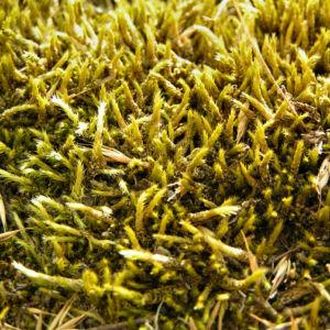 Bild: Weissliches Kurzbuechsenmoos Brachythecium albicans