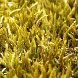 Weissliches Kurzbuechsenmoos Brachythecium albicans 02