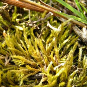 Weissliches Kurzbuechsenmoos Brachythecium albicans 04