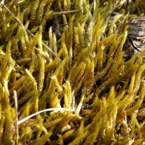 Weissliches Kurzbuechsenmoos Brachythecium albicans 05