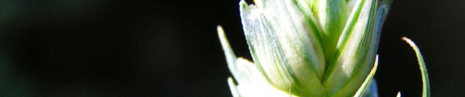 Anklicken um das ganze Bild zu sehen Weichweizen Ähre grün Triticum aestivum