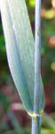 Weizen Aehre Triticum aestivum 04