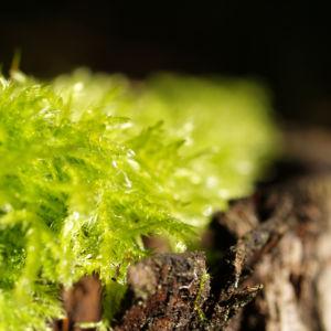 Welliges Katharinenmoos gruen Artrichium undulatum 02