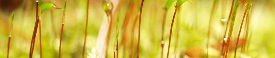 wellenblaettriges-katharinenmoos-gruen-atrichum-undulatum