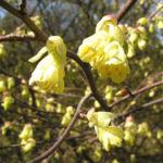 Wenigbluetige Scheinhasel Bluete hellgelb Corylopsis pauciflora 01