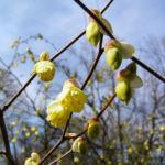 Wenigbluetige Scheinhasel Bluete hellgelb Corylopsis pauciflora 02