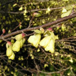 Wenigbluetige Scheinhasel Bluete hellgelb Corylopsis pauciflora 03