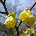 Wenigbluetige Scheinhasel Bluete hellgelb Corylopsis pauciflora 05