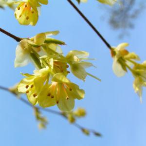 Wenigbluetige Scheinhasel Bluete hellgelb Corylopsis pauciflora 08