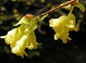 Wenigbluetige Scheinhasel Bluete hellgelb Corylopsis pauciflora 09