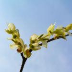 Wenigbluetige Scheinhasel Bluete hellgelb Corylopsis pauciflora 10