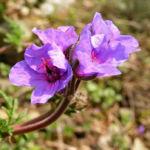 Wermut Reiherschnabel Bluete lila Erodium absinthoides 02