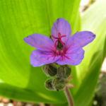 Wermut Reiherschnabel Bluete lila Erodium absinthoides 03