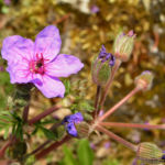 Wermut Reiherschnabel Bluete lila Erodium absinthoides 04