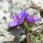 Wermut Reiherschnabel Bluete lila Erodium absinthoides 05