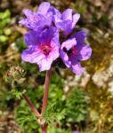 Wermut Reiherschnabel Bluete lila Erodium absinthoides 06