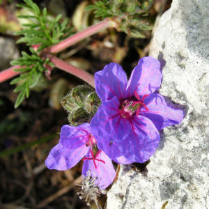 Wermut Reiherschnabel Bluete lila Erodium absinthoides 07