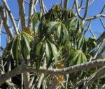Westindische Frangipani Blatt gruen Plumeria alba 08