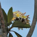 Westindische Frangipani Bluete weiss Plumeria alba 01