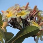 Westindische Frangipani Bluete weiss Plumeria alba 03