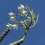 Westindische Frangipani Bluete weiss Plumeria alba 09