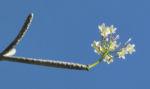 Westindische Frangipani Bluete weiss Plumeria alba 10