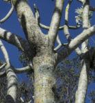 Bild: Westindische Frangipani Blatt gruen Plumeria alba