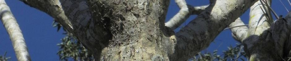 westindische-frangipani-blatt-gruen-plumeria-alba
